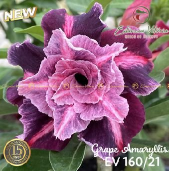 Muda Rosa do Deserto de enxerto com flor tripla na cor Roxa matizada - EV160/21 Grape Amaryllis