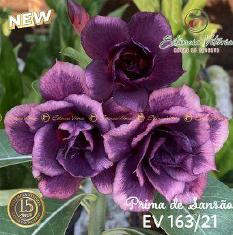 Muda Rosa do Deserto de enxerto com flor tripla na cor roxa - EV163/21 Prima de Sansão