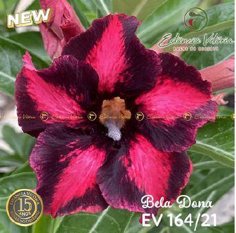 Muda Rosa do Deserto de enxerto com flor simples na cor matizada - EV164/21 Bela Dona