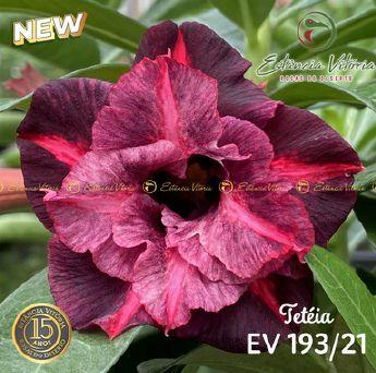 Muda Rosa do Deserto de enxerto com flor dobrada na cor matizada - EV193/21 Tetéia