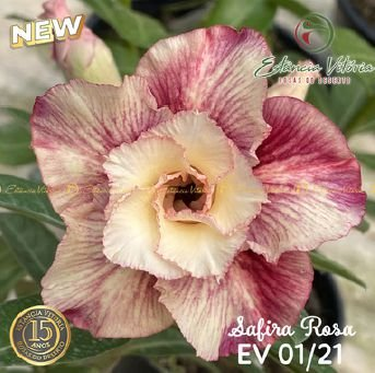 Muda Rosa do Deserto de enxerto com flor dobrada na cor Matizada - EV01/21 Safira Rosa