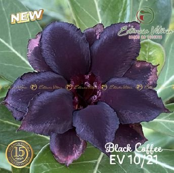 Muda Rosa do Deserto de enxerto com flor dobrada na cor Negra - EV10/21 BLACK COFFEE