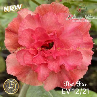 Muda Rosa do Deserto de enxerto com flor tripla na cor Rosa - EV12/21 HOT FIRE