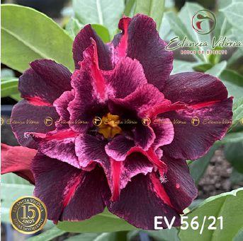 Muda Rosa do Deserto de enxerto com flor dobrada na cor matizada - EV56/21