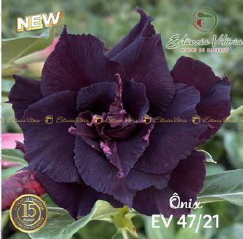 Muda Rosa do Deserto de enxerto com flor tripla na cor negra - EV47/21Ônix