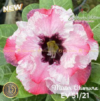 Muda Rosa do Deserto de enxerto com flor dobrada na cor Branca Matizada- EV51/21Mister Okumura