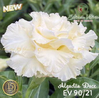 Muda Rosa do Deserto de enxerto com flor tripla na cor Branca - EV90/21 Algodão Doce