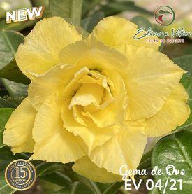Muda Rosa do Deserto de enxerto com flor tripla na cor Amarela - EV04/21 Gema de Ovo