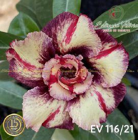Muda Rosa do Deserto de enxerto com flor dobrada na cor Matizada - EV116/21