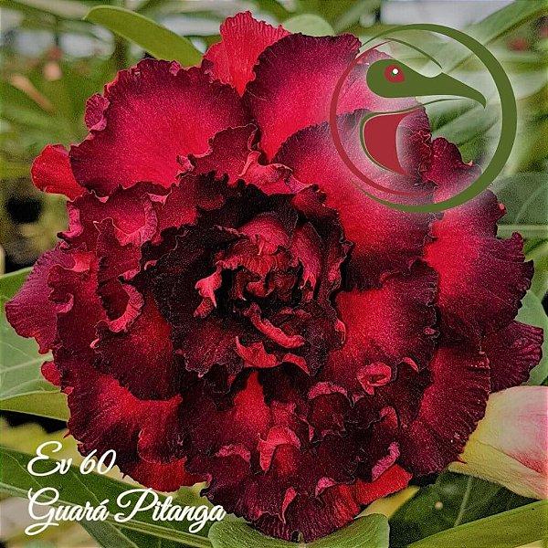 Rosa do Deserto Muda de Enxerto - EV-060 - Guará Pitanga - Flor Quadrupla