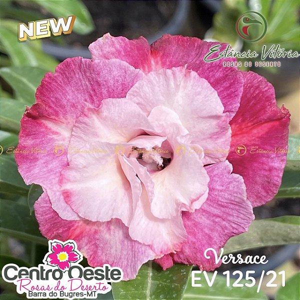 Rosa do Deserto Enxerto - EV-125 Versace