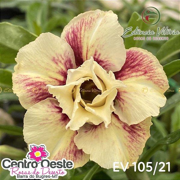 Rosa do Deserto Enxerto EV-105