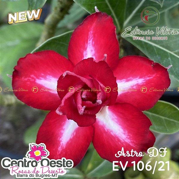 Rosa do Deserto Enxerto EV-106 Astro DF