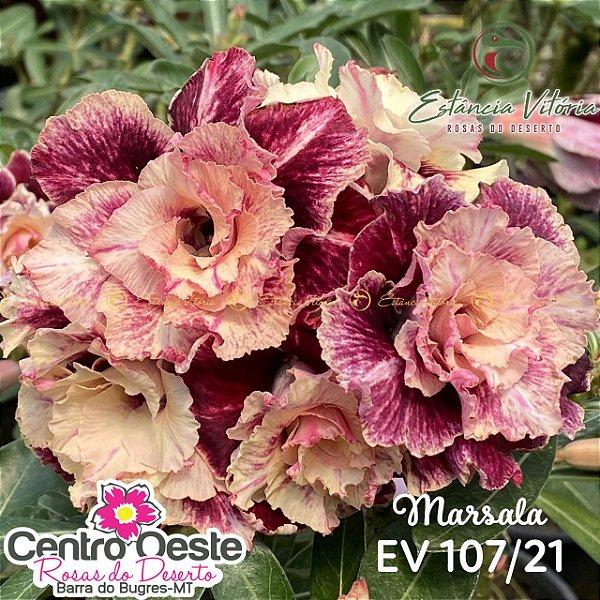 Rosa do Deserto Enxerto EV-107