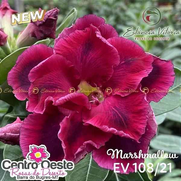 Rosa do Deserto Enxerto EV-108 Marshmallow