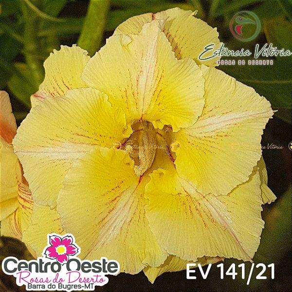 Rosa do Deserto Enxerto EV-141