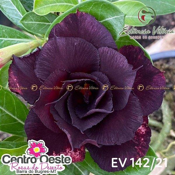 Rosa do Deserto Enxerto EV-142