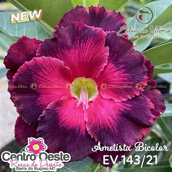 Rosa do Deserto Enxerto EV-143 Ametista Bicolor