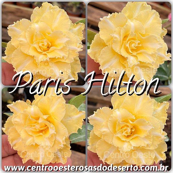 Rosa do Deserto Enxerto - Paris Hilton