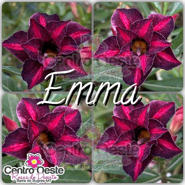 Rosa do Deserto Enxerto - EMMA (RC182)