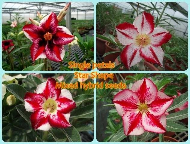 Semente Multi-Petals Mixed - Rinoa-Chen Star Shape - Kit com 5 sementes Flor Simples