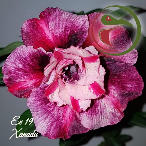 Rosa do Deserto Muda de Enxerto - EV-019 - Xanadu - Flor Dobrada