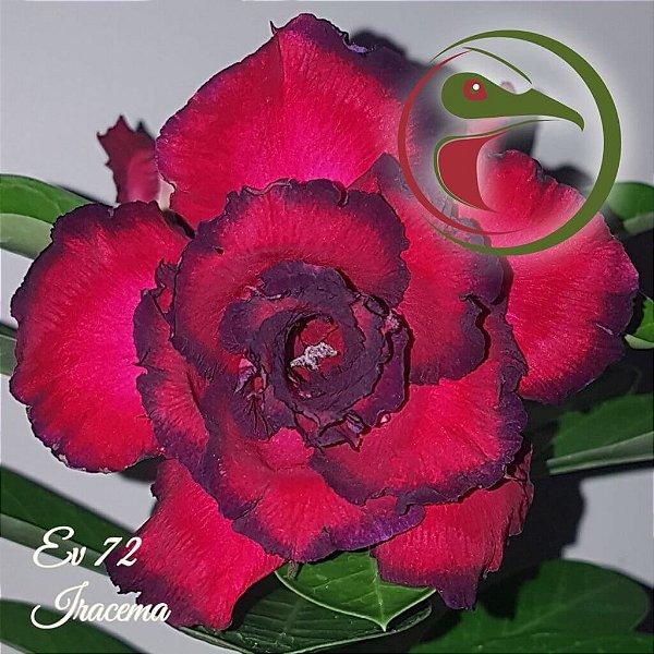Rosa do Deserto Muda de Enxerto - EV-072 - Iracema - Flor Tripla