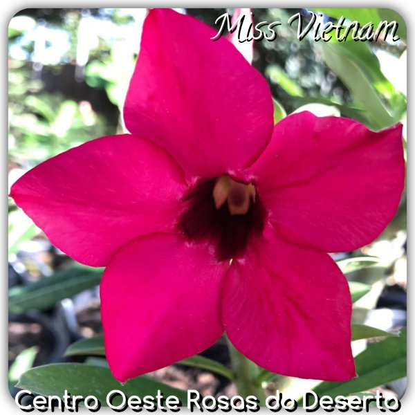 Rosa do Deserto Muda de Enxerto - Miss Vietnam - Flor Simples Pink