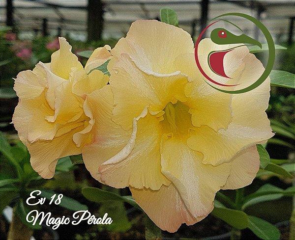 Rosa do Deserto Muda de Enxerto - EV-018 - Magic Pérola - Flor Dobrada