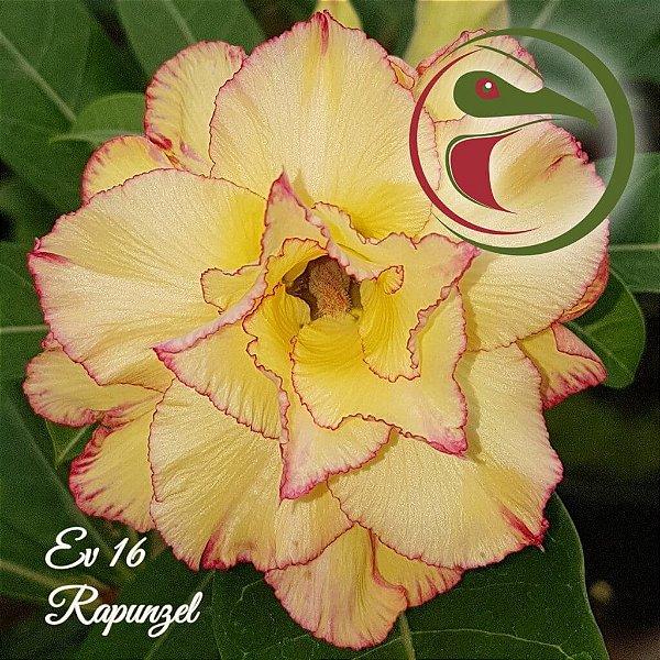 Rosa do Deserto Muda de Enxerto - EV-016 - Rapunzel - Flor Tripla