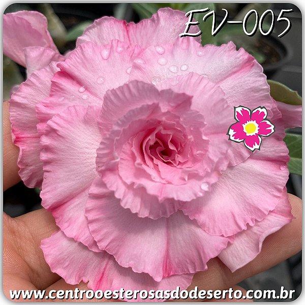 Rosa do Deserto Muda de Enxerto - EV-005 - Flor Tripla