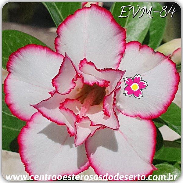 Rosa do Deserto Muda de Enxerto - EVM-084 - Flor Dobrada