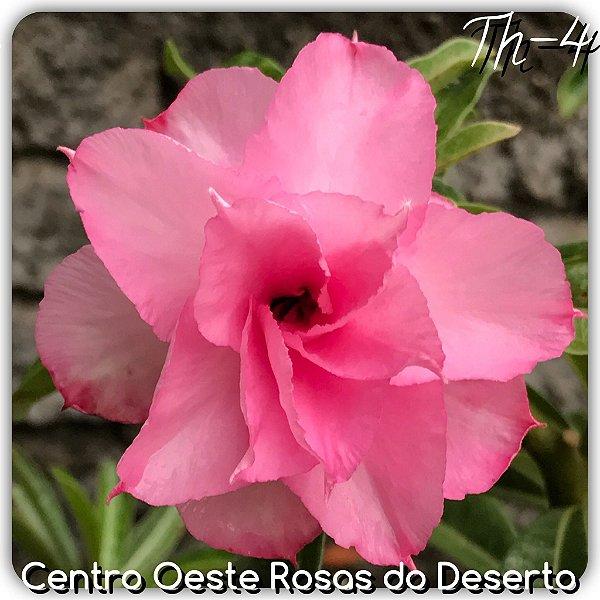 Rosa do Deserto Muda de Enxerto - TH-4 - Flor Tripla Pink Claro