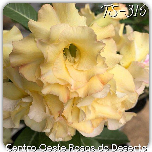 Rosa do Deserto Muda de Enxerto - TS-316 - Flor Dobrada