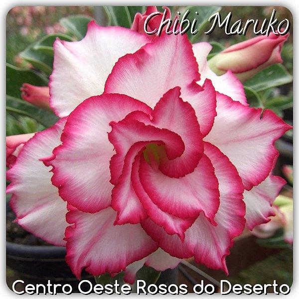 Rosa do Deserto Enxerto - Chibi Maruko (RC11)