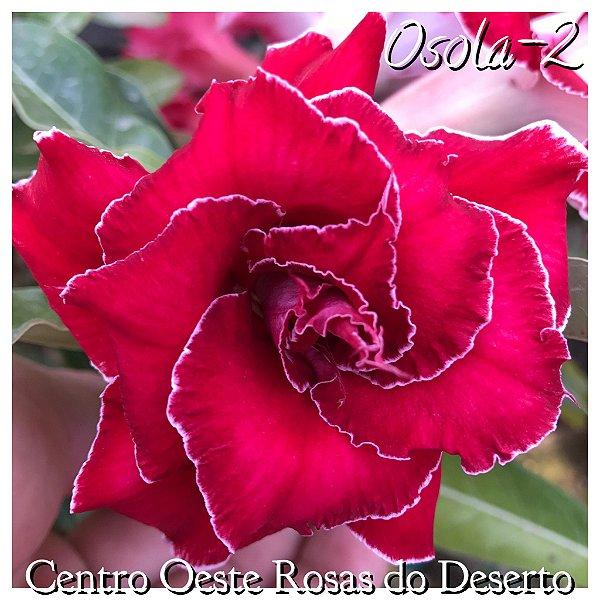 Rosa do Deserto Muda de Enxerto - OSOLA 2 - Flor Dobrada Vermelha