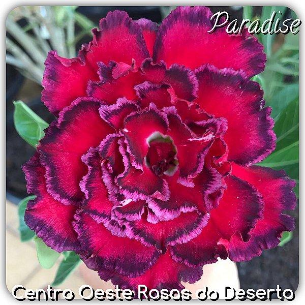 Rosa do Deserto Muda de Enxerto - PARADISE - Flor Quadrupla Vermelho