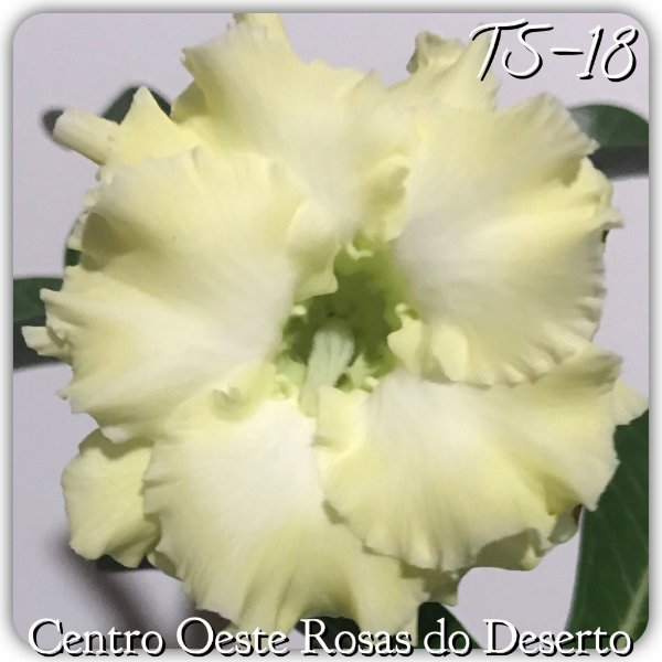 Rosa do Deserto Muda de Enxerto - TS-018 - Flor Dobrada Amarelo