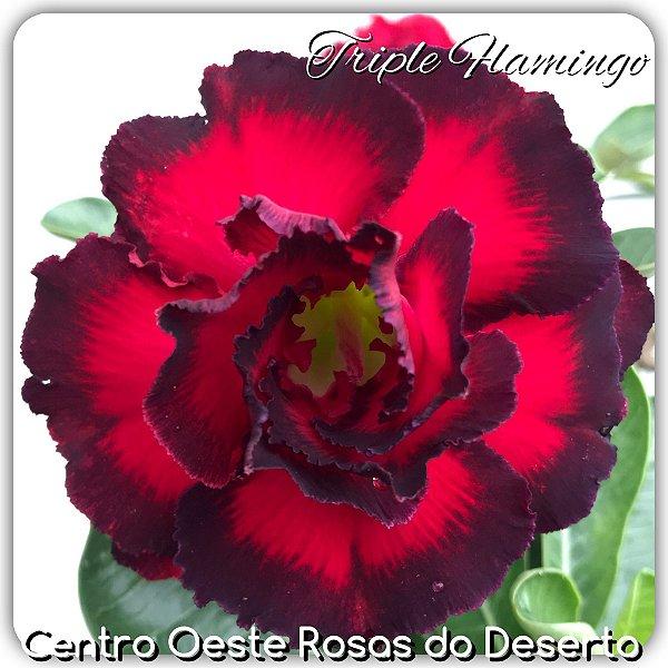 Rosa do Deserto Muda de Enxerto - Triple Flamingo - Flor Tripla