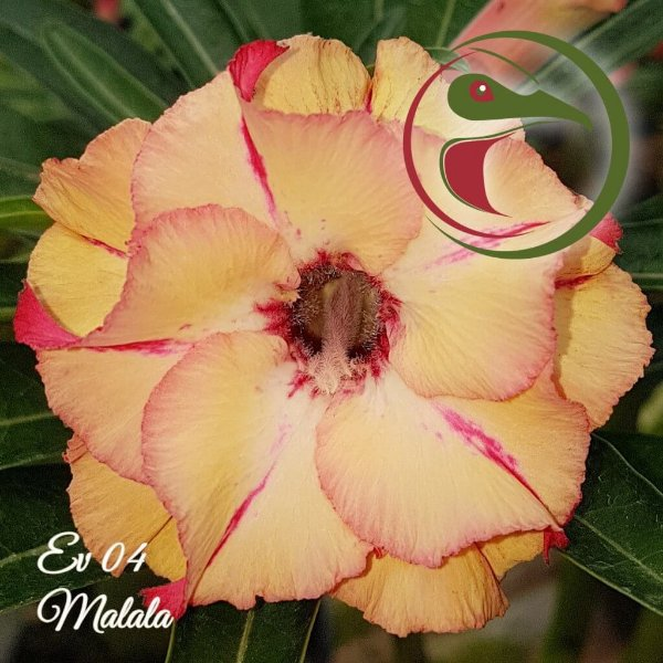 Rosa do Deserto Muda de Enxerto - EV-004 - Malala