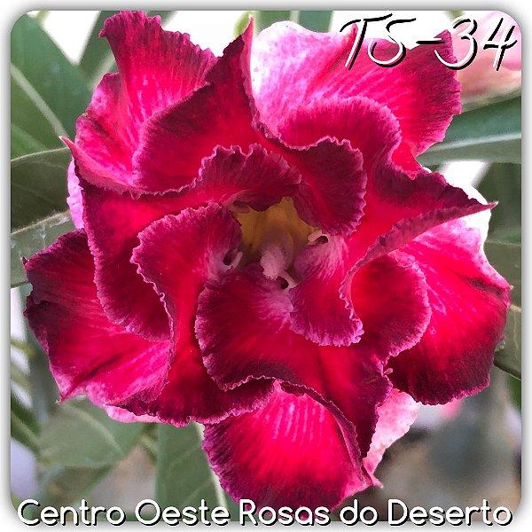 Rosa do Deserto Muda de Enxerto - TS-034 - Flor Dobrada