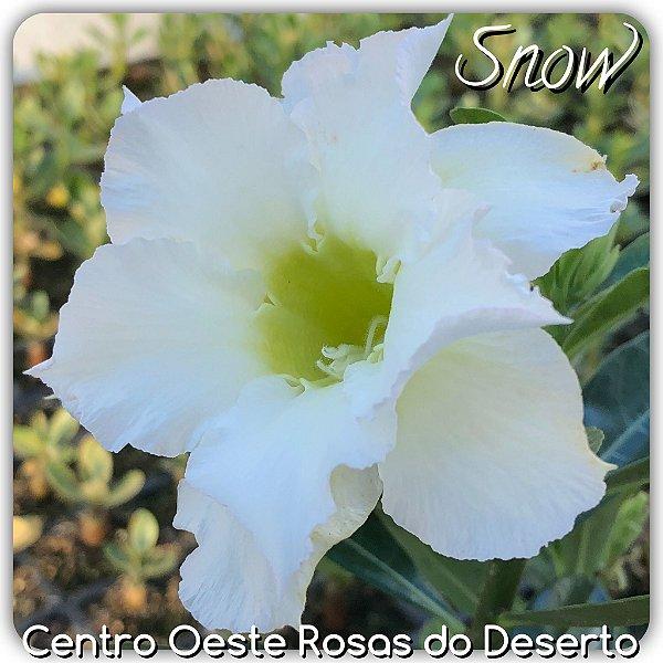 Rosa do Deserto Muda de Enxerto - Snow - Flor Dobrada branca