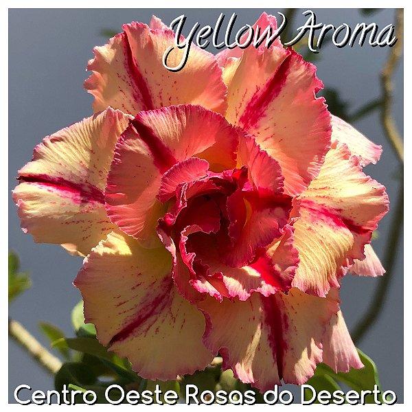 Rosa do Deserto Muda de Enxerto - Yellow Aroma - Flor Tripla
