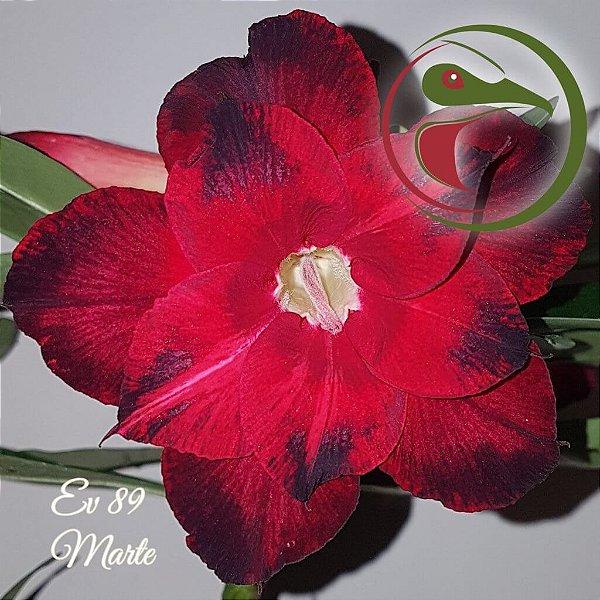 Rosa do Deserto Muda de Enxerto - EV-089 - Marte - Flor Dobrada