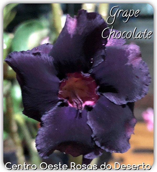 Rosa do Deserto Muda de Enxerto - Grape Chocolate - Flor Dobrada