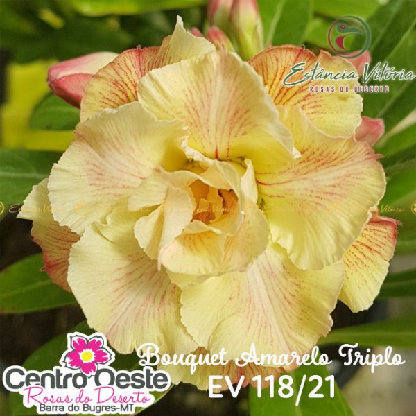 Rosa do Deserto Enxerto - EV-118 - Bouquet