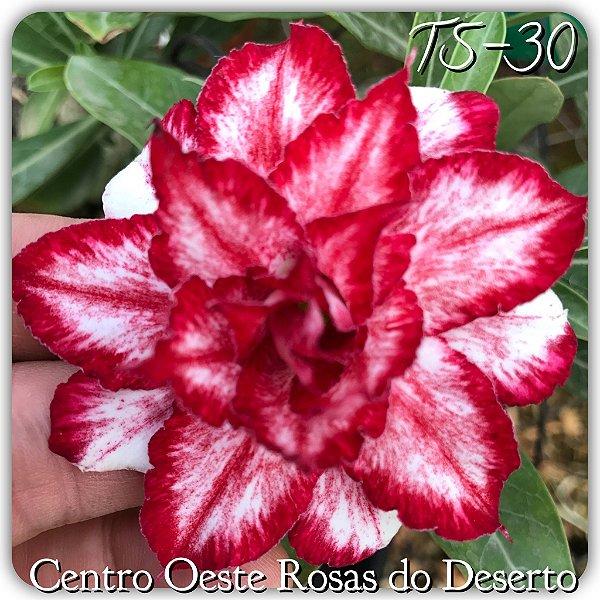 Rosa do Deserto Muda de Enxerto - TS-030 - Flor Tripla