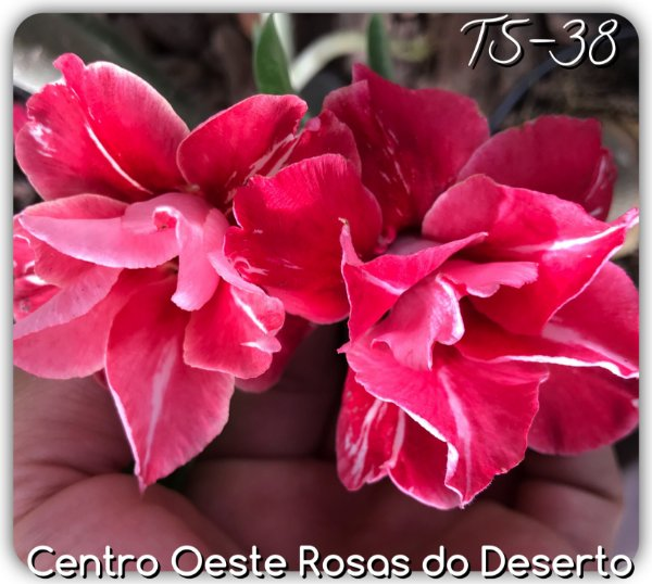 Rosa do Deserto Muda de Enxerto - TS-038 - Flor Dobrada