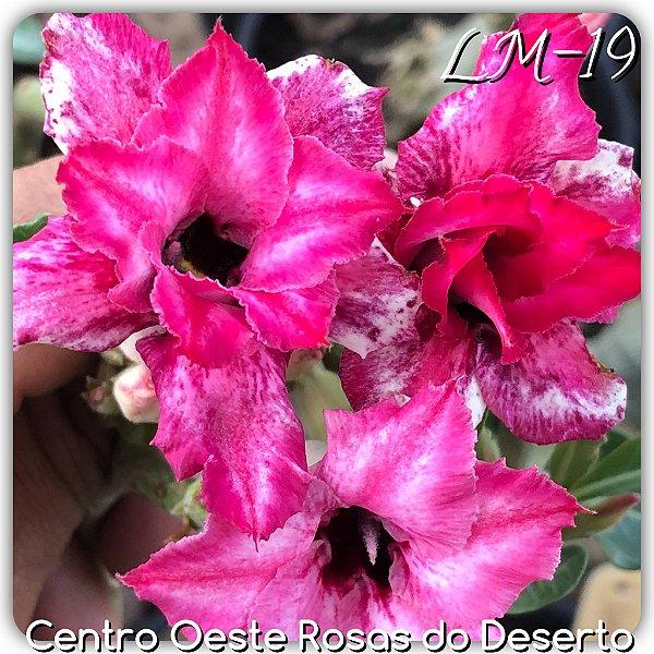Rosa do Deserto Muda de Enxerto - LM-19 - Flor Dobrada