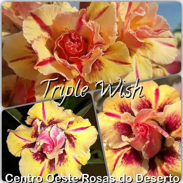 Rosa do Deserto Muda de Enxerto - Triple Wish - Flor Tripla Amarela Perfumada